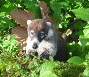 Arenal - coati