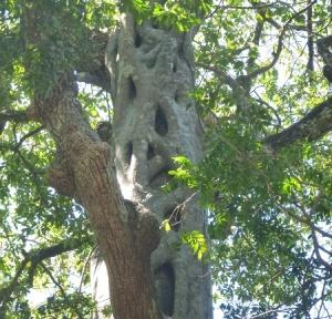 Rincon - strangler fig