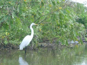 Ometepe 2 - great egret